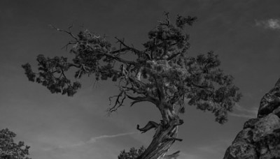Tree at the Grand Canyon